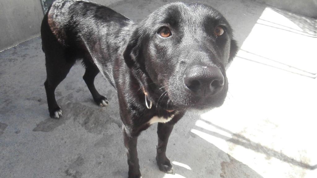 JOYCY (femelle croisée labrador) P6019313