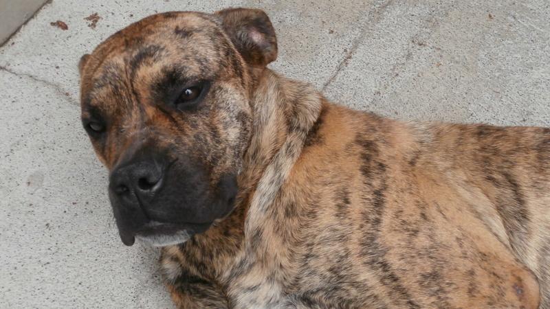 BEAUTY (femelle croisée boxer) P6167515
