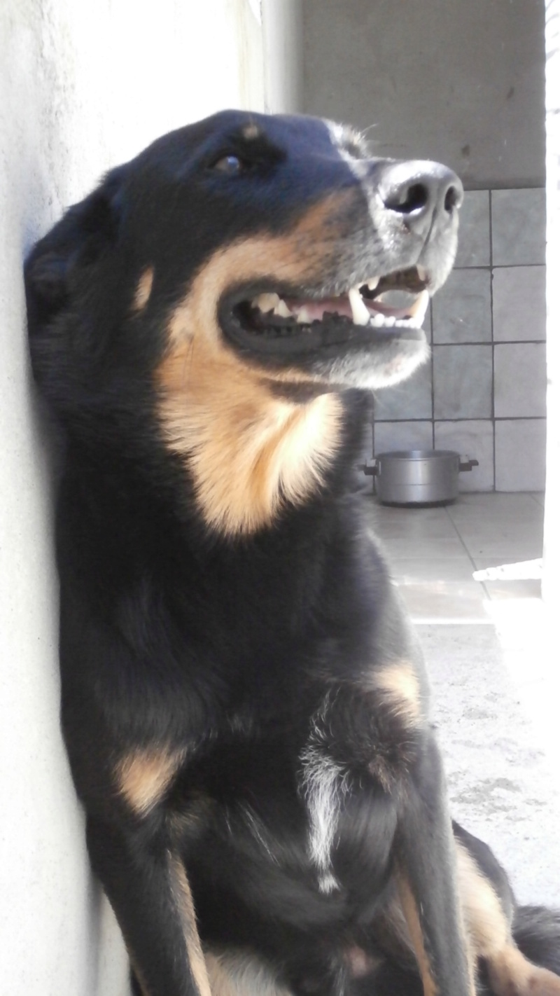 HIRO (mâle x beauceron) P6277512