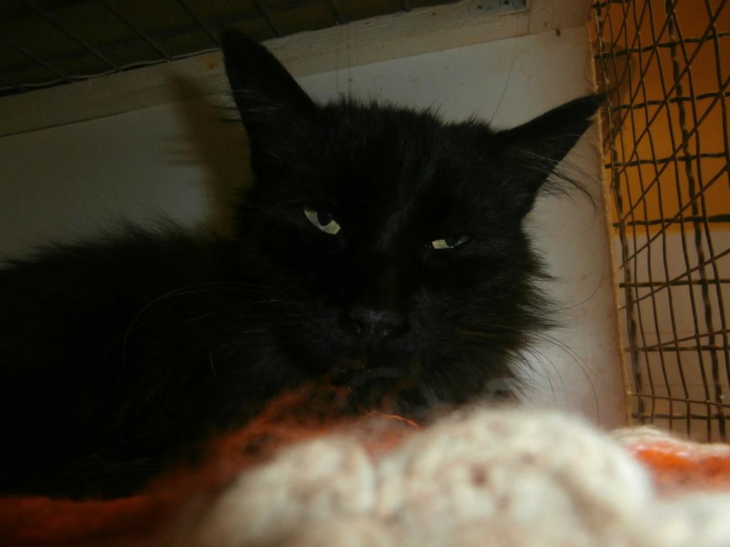 ROBERTO (mâle angora noir) P7178810