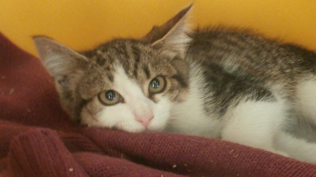 VENUS (chaton femelle tigrée et blanche) P7209018