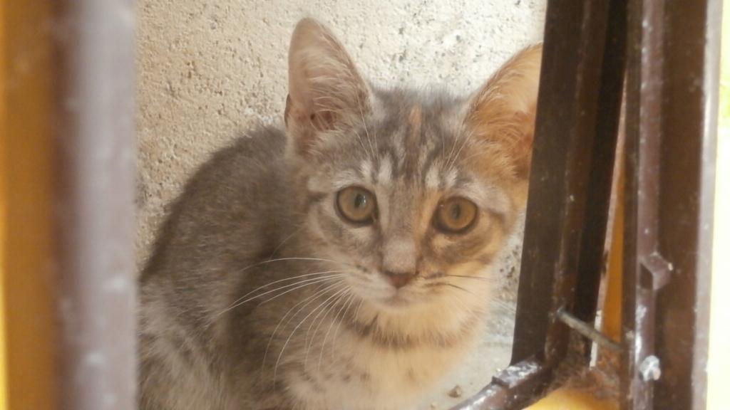 GABRIELA (chaton femelle tigrée) P7287720