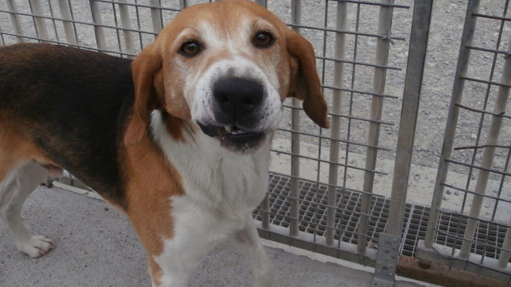 IODA (mâle croisé beagle) P7287912