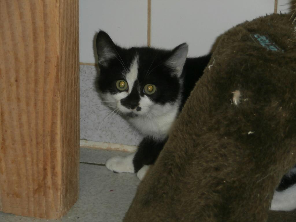 EITAN (chaton noir et blanc) P7308815