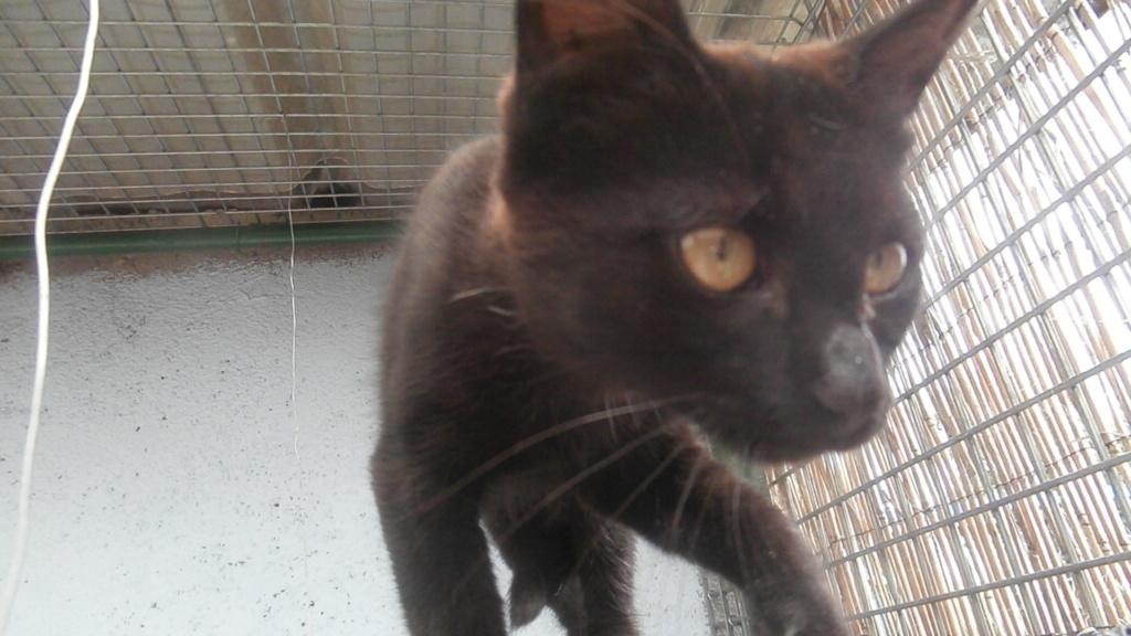 BAYA (chaton femelle noir) P8108861