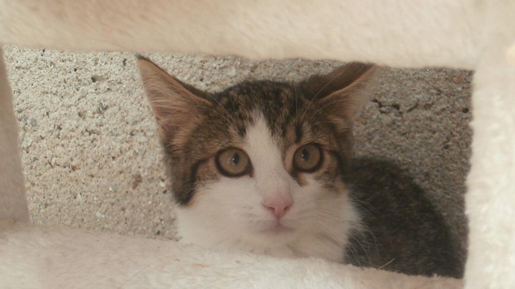 VENUS (chaton femelle tigrée et blanche) P8108939