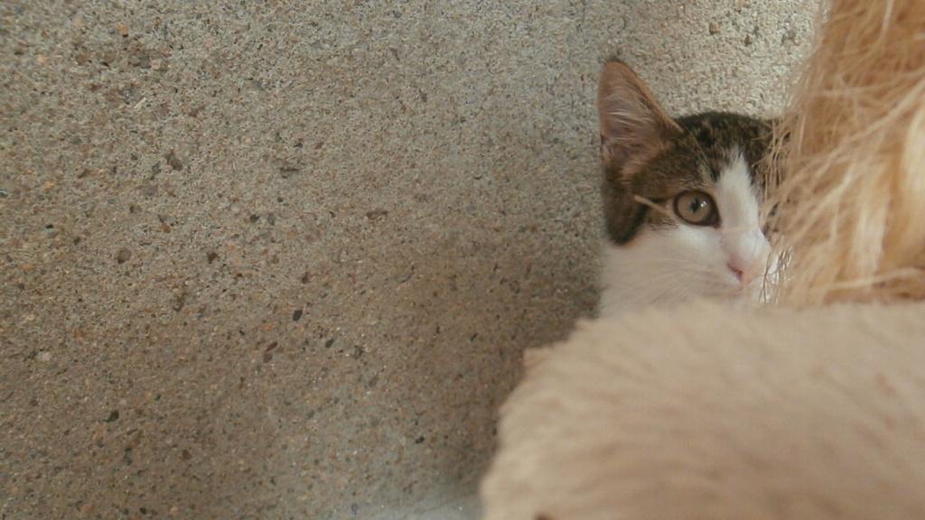 VENUS (chaton femelle tigrée et blanche) P8108940