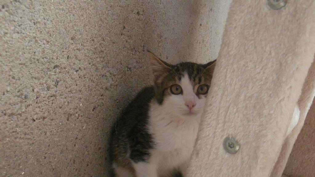 VENUS (chaton femelle tigrée et blanche) P8108941