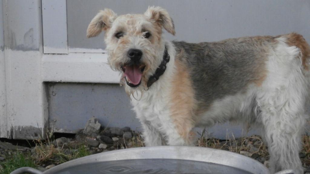 BEN (mâle fox terrier) P8138023