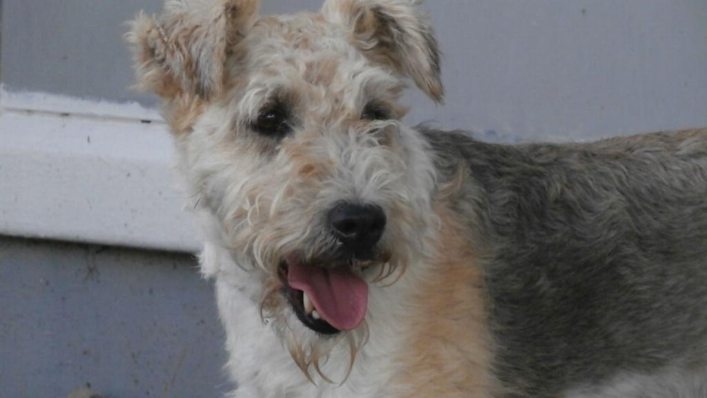 BEN (mâle fox terrier) P8138024