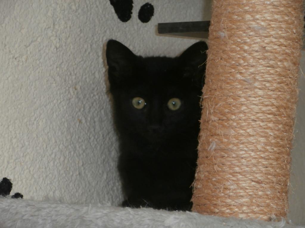 UNIC (chaton femelle noire) P8218812