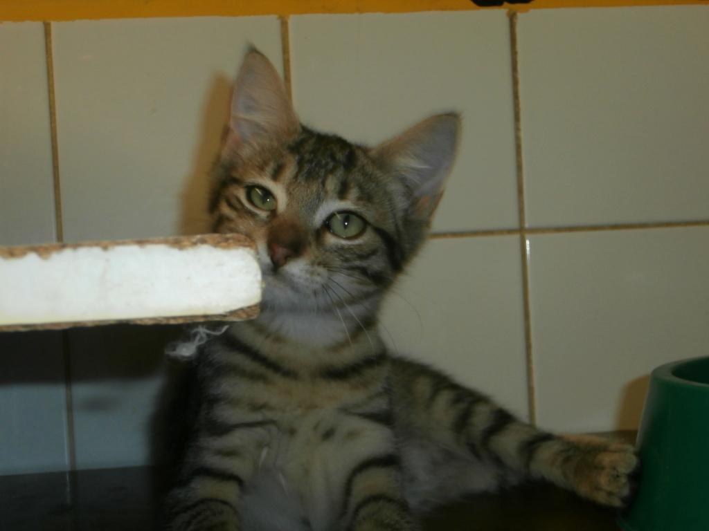 Céline (femelle chaton tigrée) P8218813