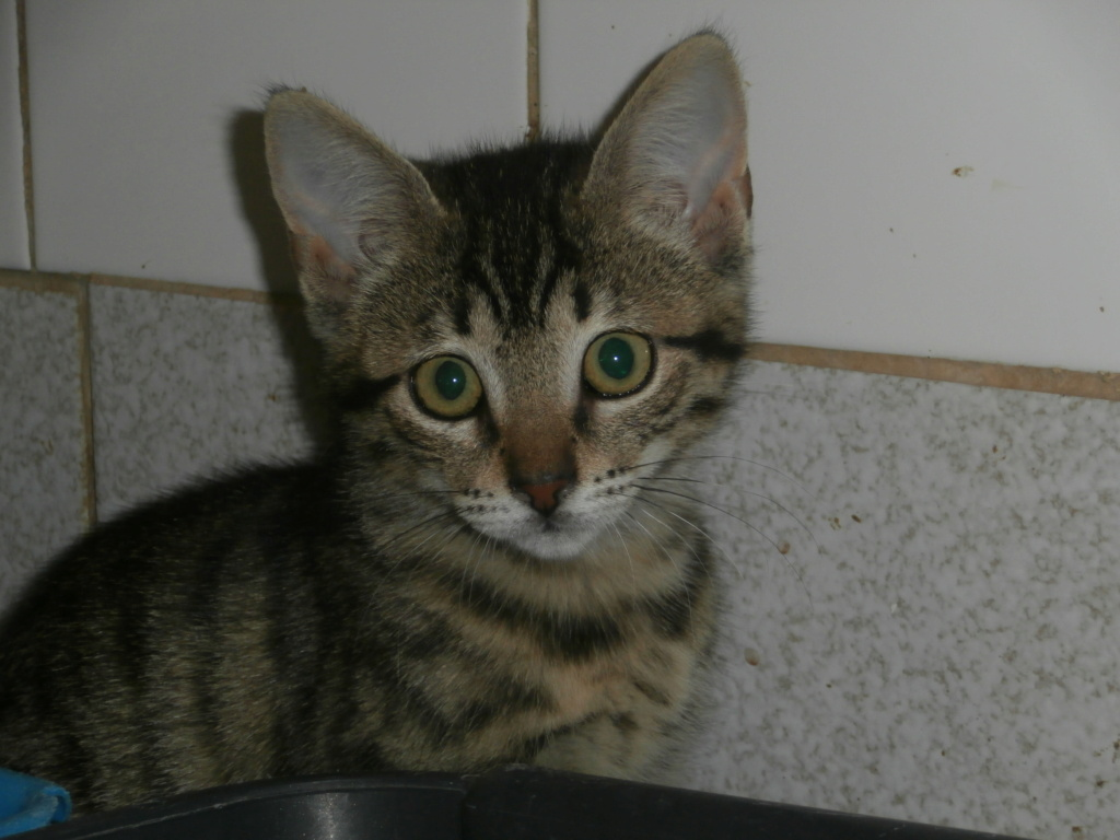 Céline (femelle chaton tigrée) P8218814