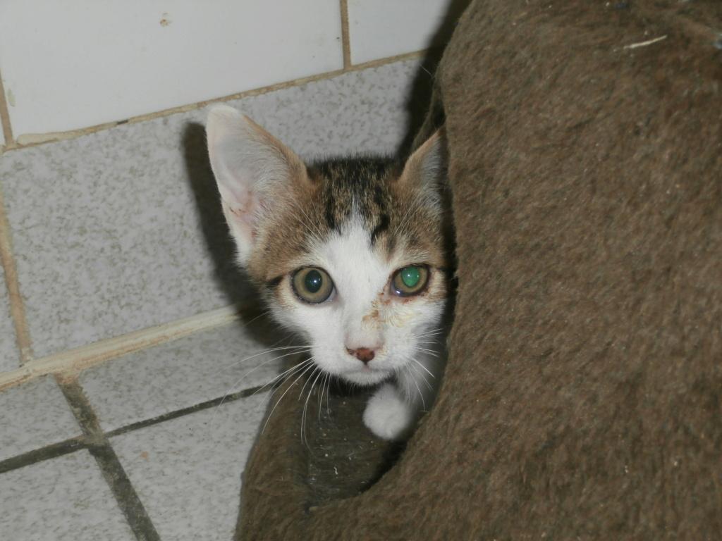 GEPETTO (chaton tigré et blanc) P8218824