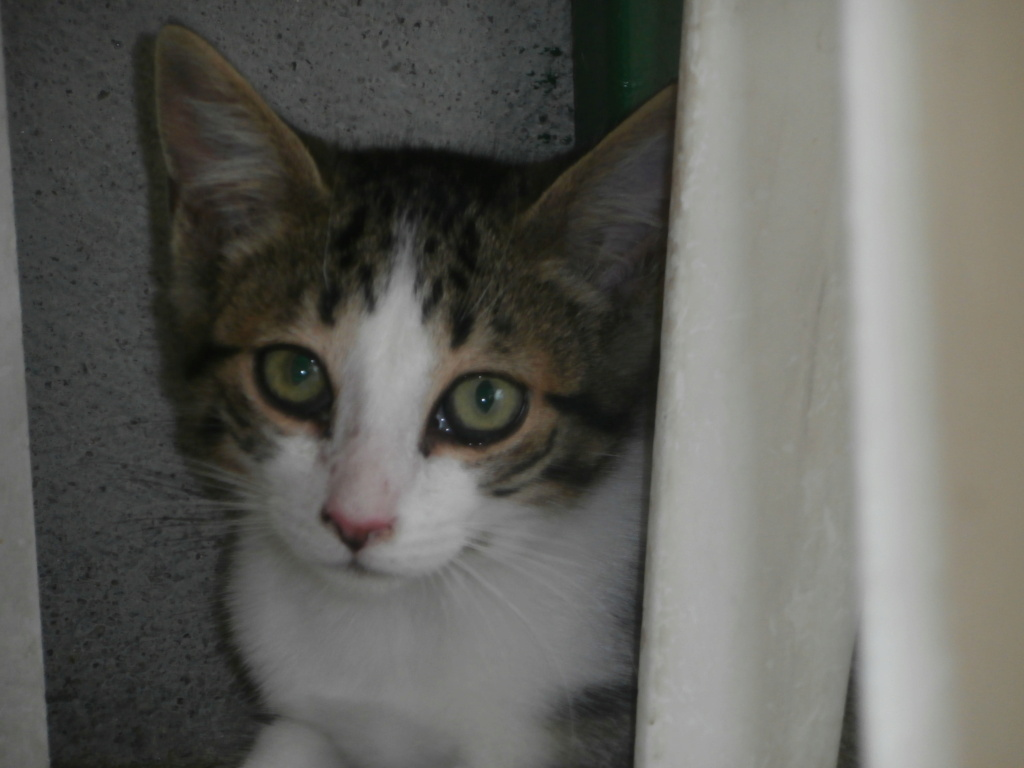 CRI-CRI (chaton tigré et blanc) P8218825