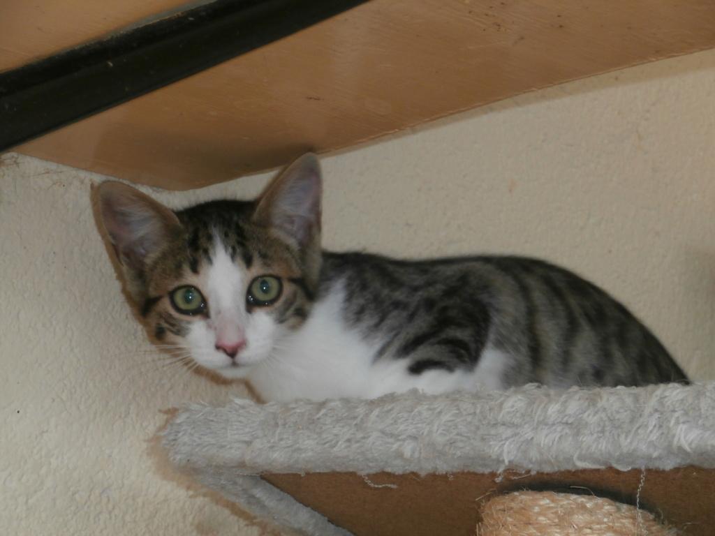 CRI-CRI (chaton tigré et blanc) P8218826