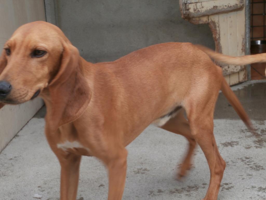 SCAMP (mâle criosé chien courant) P8228812