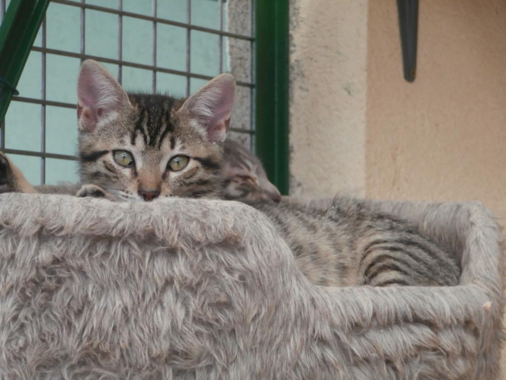 Céline (femelle chaton tigrée) P8248823