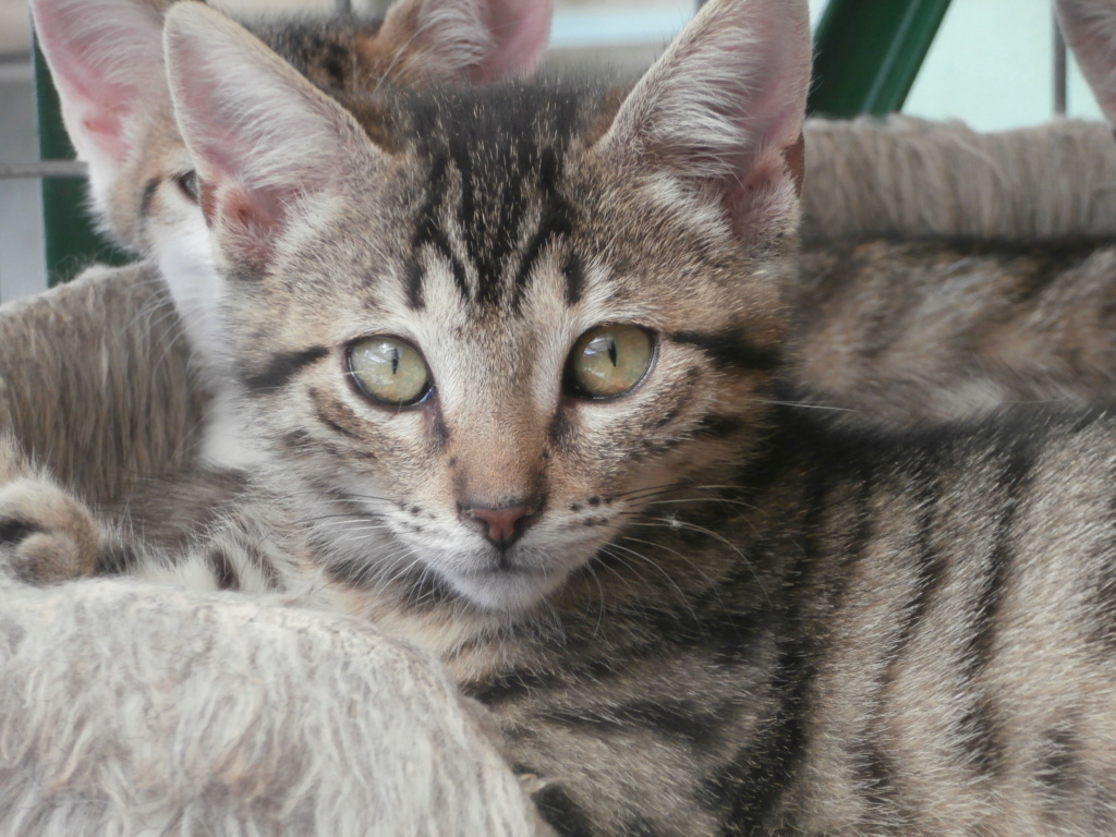 Céline (femelle chaton tigrée) P8248824