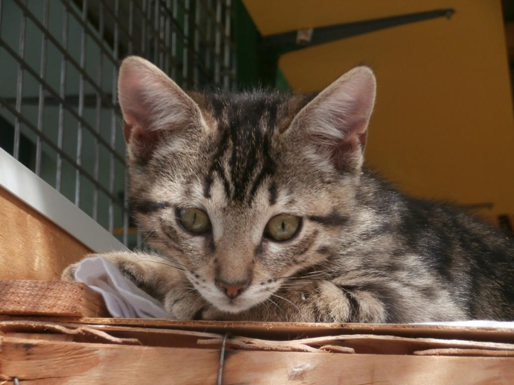 Céline (femelle chaton tigrée) P8248915