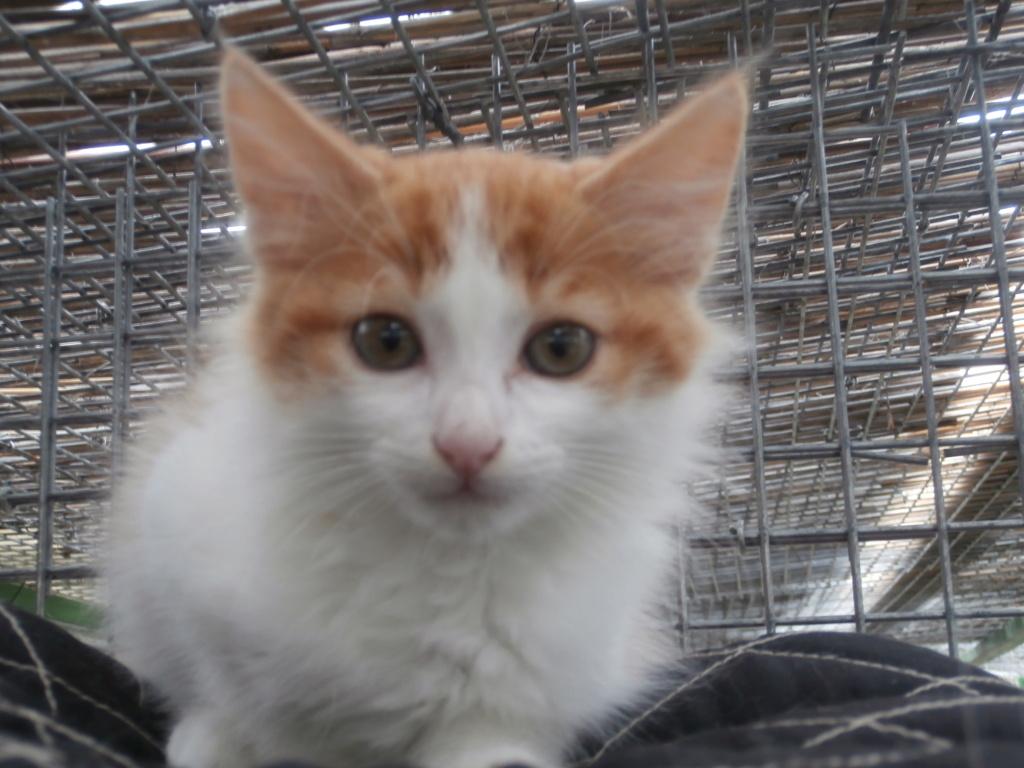 BABYLONE (chaton roux et blanc) P8298916