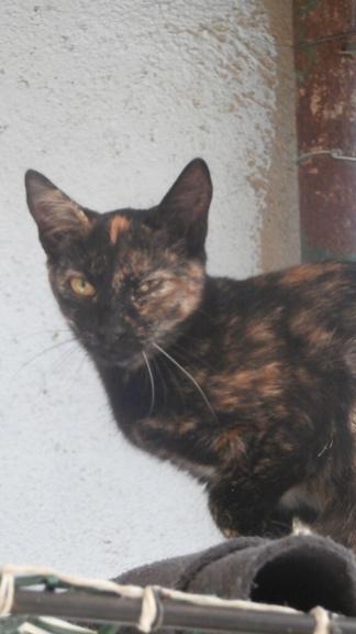 SOUCIS (chaton écaille de tortue) P9088227