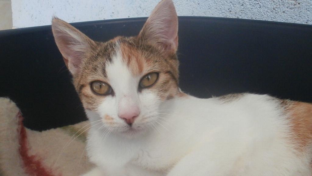 Sally (chaton tricolore) P9088311