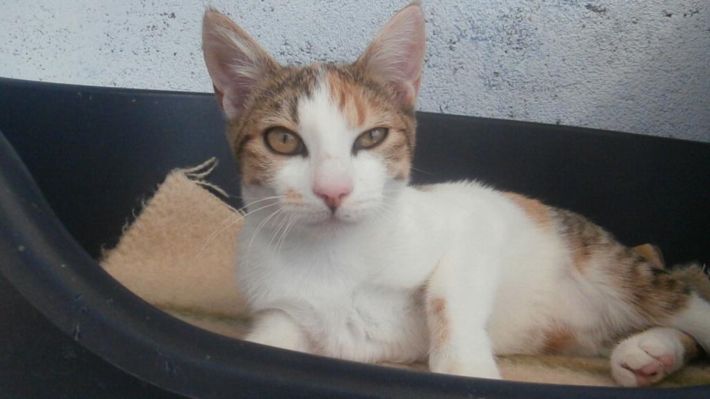 Sally (chaton tricolore) P9088312