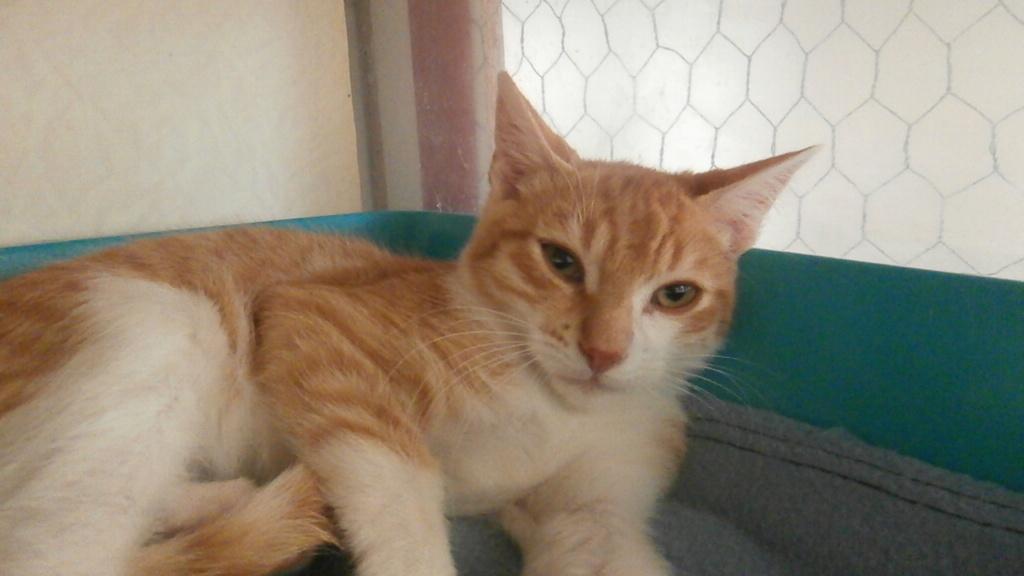 Olympe (mâle européen roux et blanc) P9188815