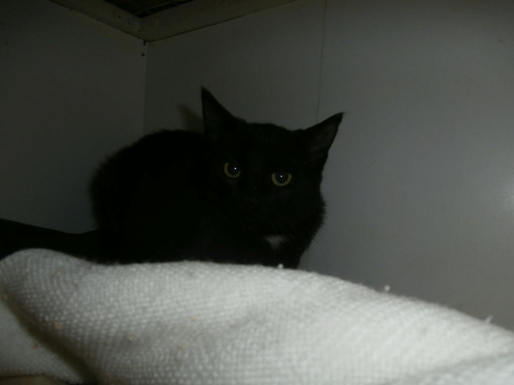 CRAPAUD (chat jeune noir) RÉSERVÉ  P9268912