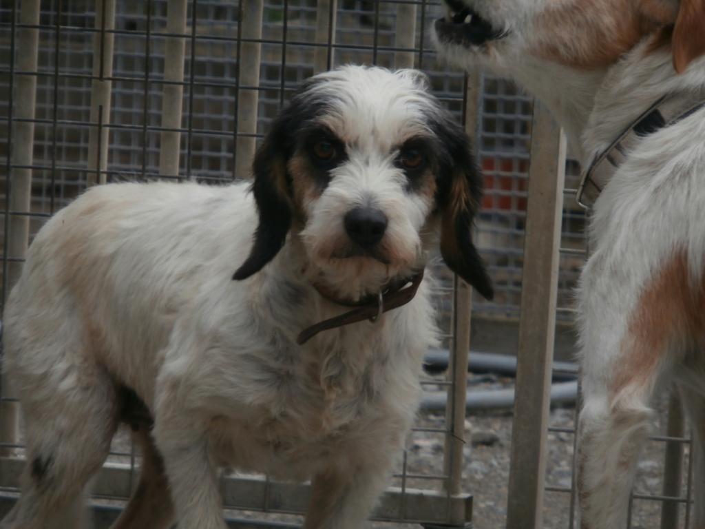 GUESS (chienne croisée griffon) Pa039010