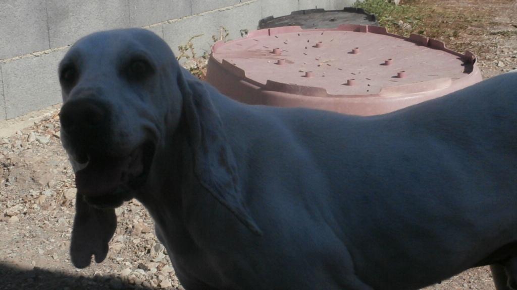 DOUDOU (chien mâle croisé courant) Réservé  Pa068221