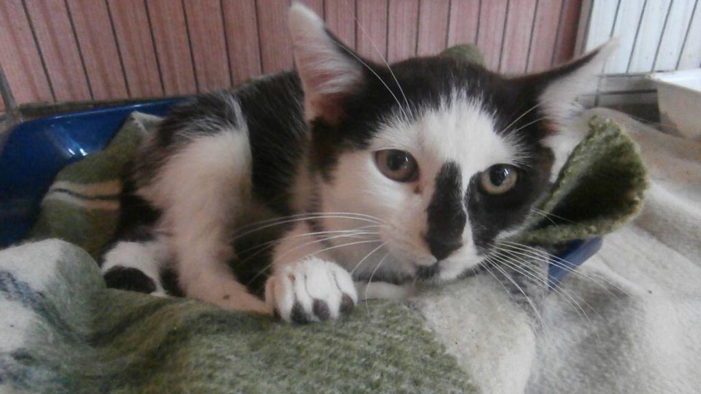 COMETE (chaton noir et blanc) Pa068223