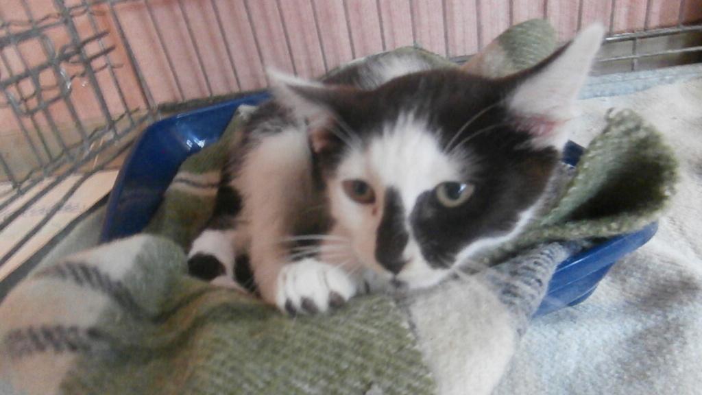 COMETE (chaton noir et blanc) Pa068224