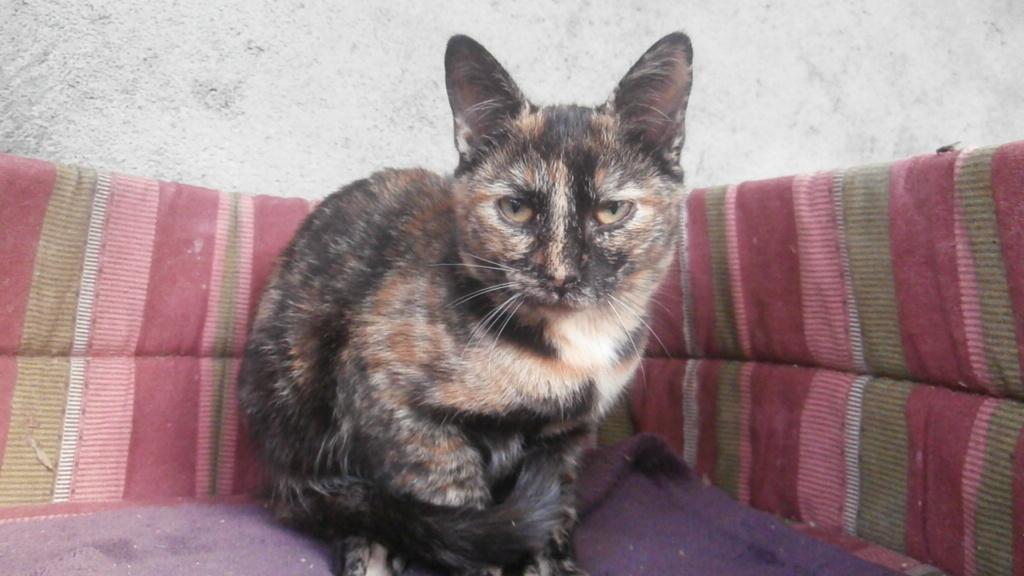 Chouquette (chaton femelle écaille de tortue) Pa078346