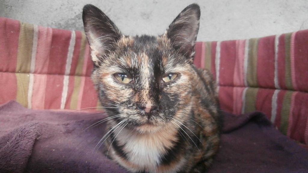 Chouquette (chaton femelle écaille de tortue) Pa078347