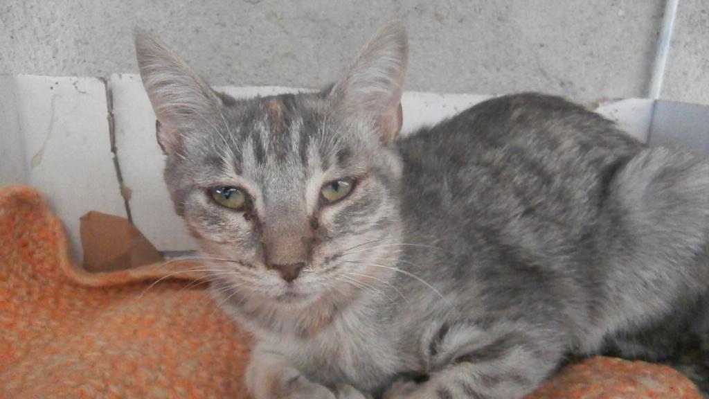 GABRIELA (chaton femelle tigrée) Pa078348