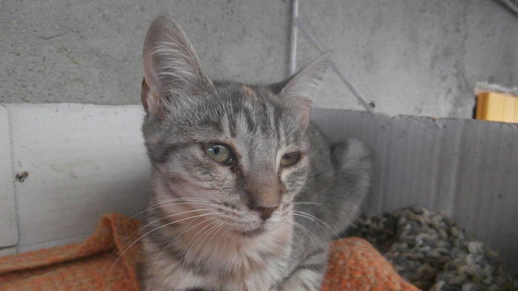 GABRIELA (chaton femelle tigrée) Pa078349