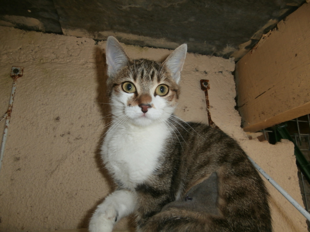 Ysatis (chaton femelle tigrée et blanche) Pa148821