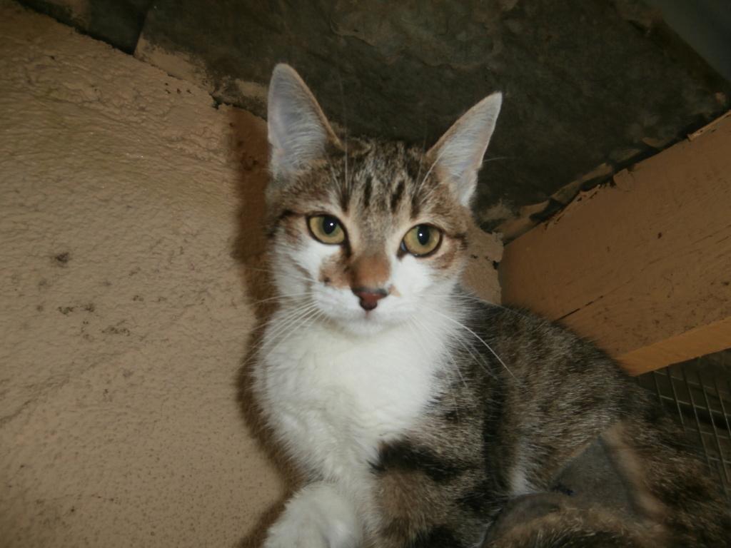 Ysatis (chaton femelle tigrée et blanche) Pa148822