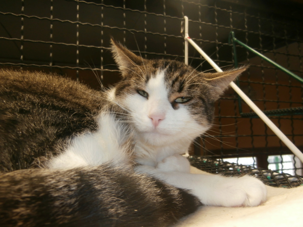 VENUS (chaton femelle tigrée et blanche) Pa148826