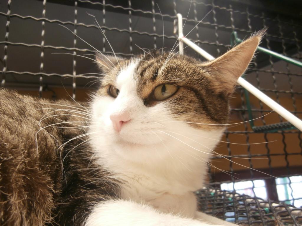 VENUS (chaton femelle tigrée et blanche) Pa148827