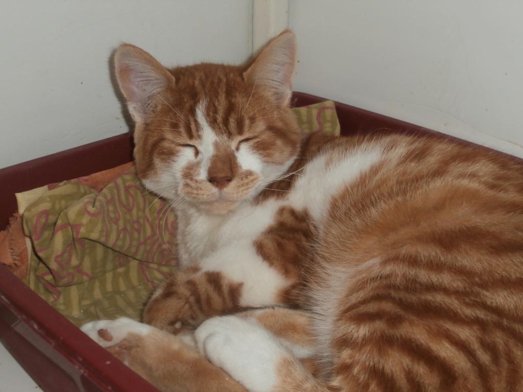 GUGUSS (chat européen roux et blanc) Pa148828