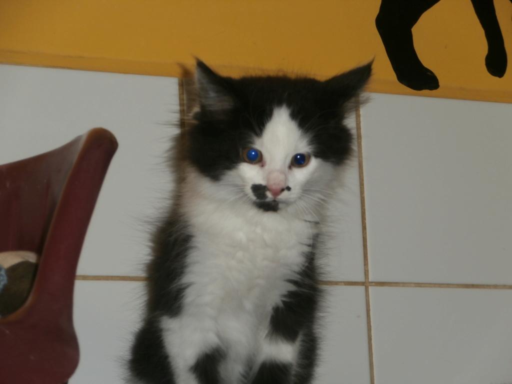 BIDULE (chatonne noire et blanche) Pa148917