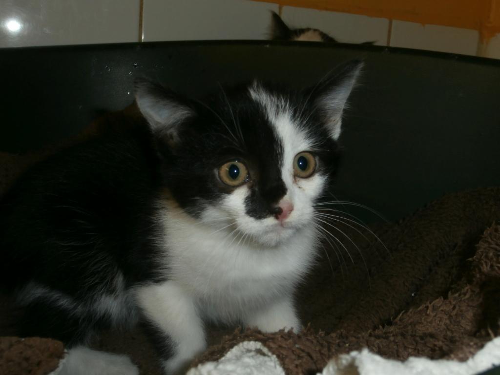 BIDULE (chatonne noire et blanche) Pa148929