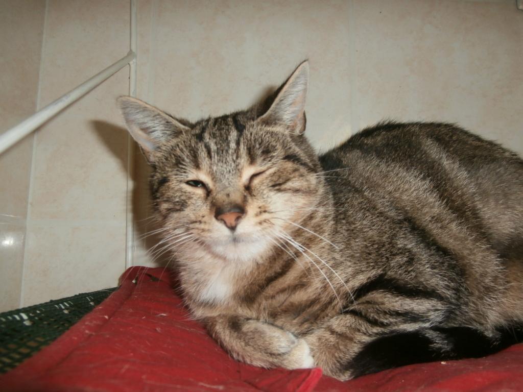 HERMIONE (chaton tigré femelle) Pa148930