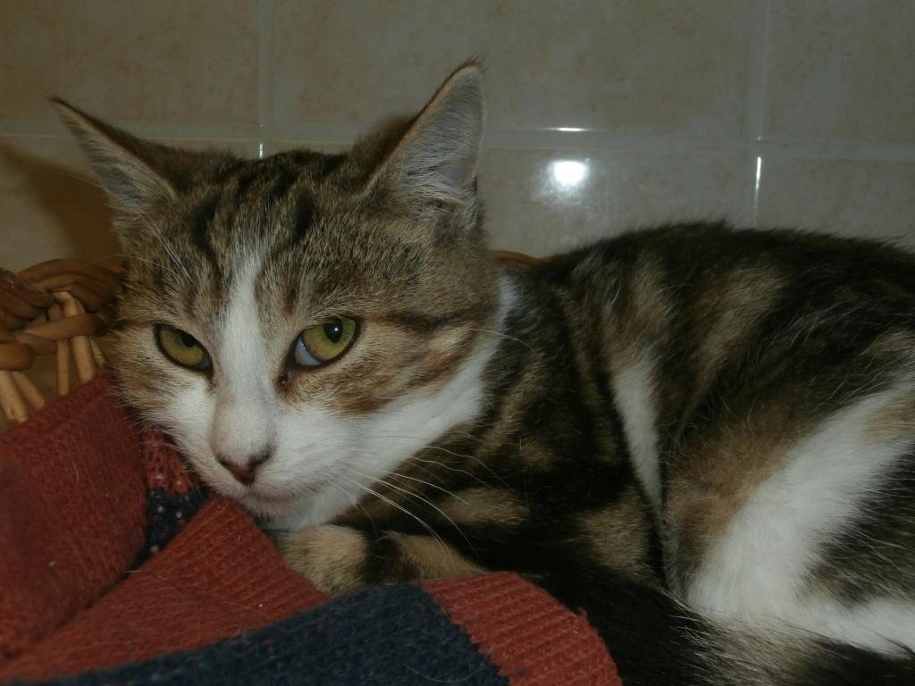 KINDER ( Chaton femelle tigrée et blanche) RÉSERVÉE  Pa148937