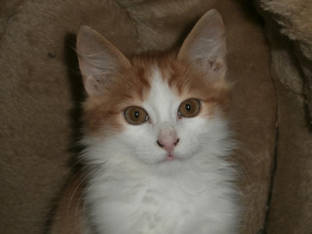BABYLONE (chaton roux et blanc) Pa148949