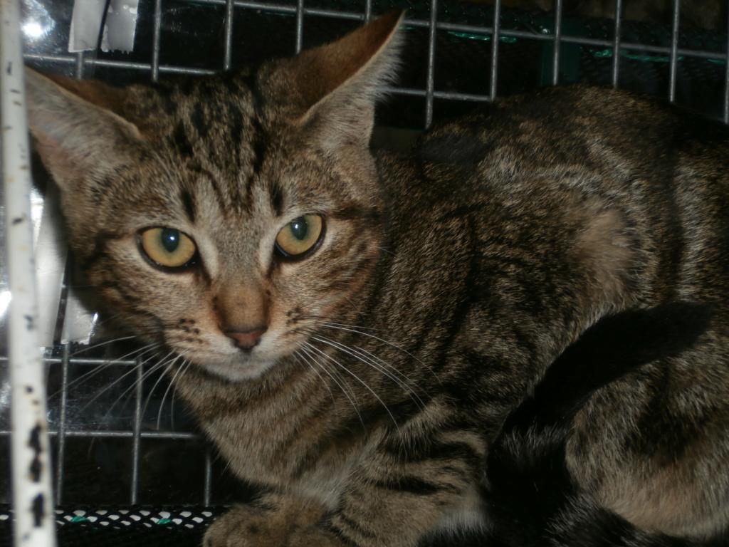 Zygna ( jeune femelle tigrée) Pa148957