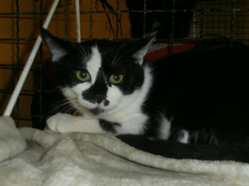 EITAN (chaton noir et blanc) Pa148961